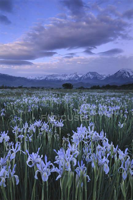 Lirios silvestres crecen en campo en la Sierra oriental, California, Estados Unidos - foto de stock