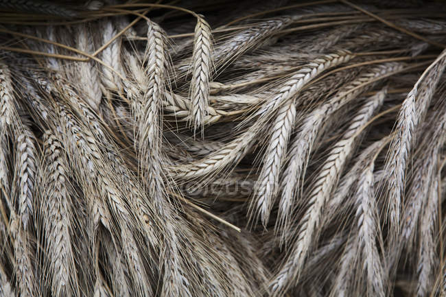 Stalks of cut dried barley with seedheads, full frame. — Stock Photo