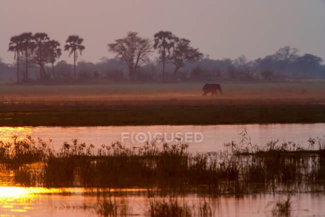 Elefante africano in Okavango Delta, Botswana — Foto stock