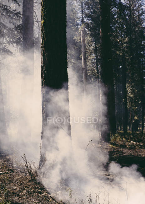 Smoke and burned trees after controlled fire in coniferous forest. — Stock Photo