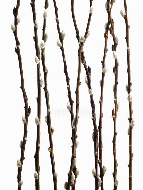 Twigs and budding flowering shrubs of willow on white background — Stock Photo