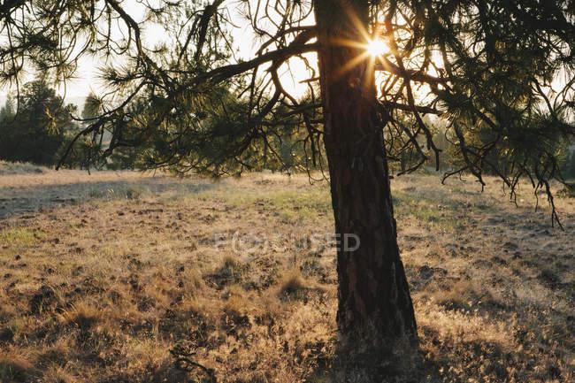 Sun shining through Ponderosa Pine tree at dusk — стоковое фото