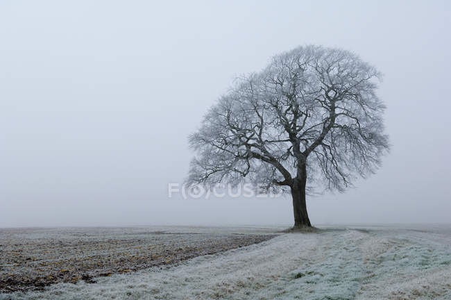 Geada e neve em campo e faia árvore no inverno. — Fotografia de Stock