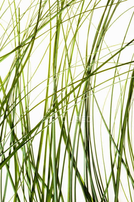 Thin green leaves of plant against white background. — Stock Photo