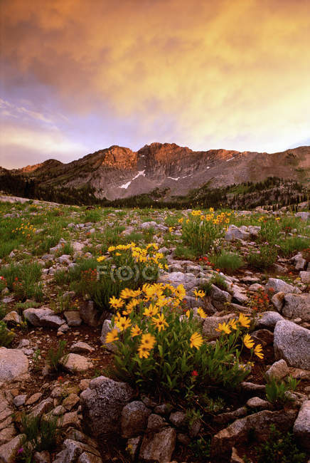 Landscape of Little Cottonwood Canyon with flowery meadow in Wasatch mountain range. — Stock Photo