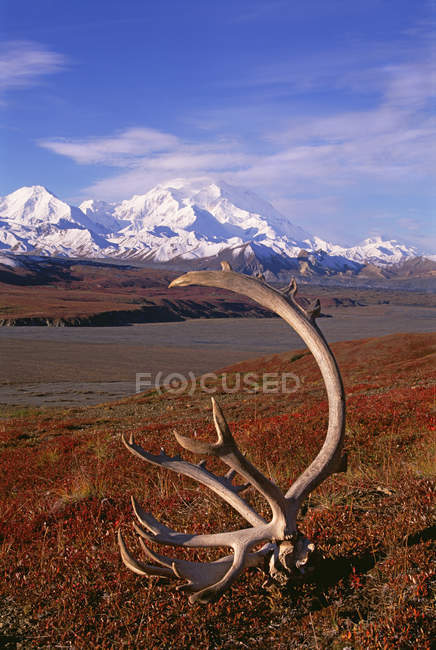 Tundra and caribou antlers in Denali National Park, Alaska in autumnal colors. — Stock Photo