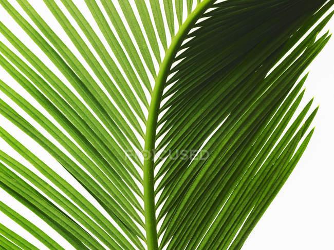 Глянцеві зелені palm leaf з центрального ребра і парі листя, великим планом. — стокове фото