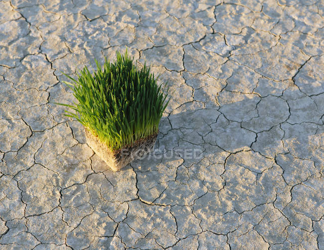 Arid cracked surface of salt flat with wheatgrass plants. — Stock Photo
