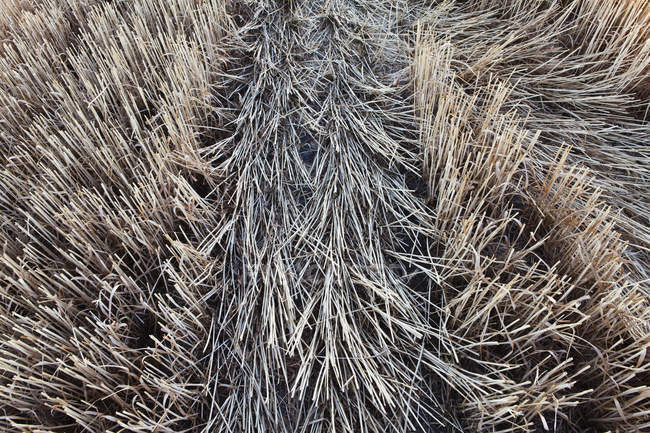 Wheat field with stubble after harvesting season, full frame. — стокове фото