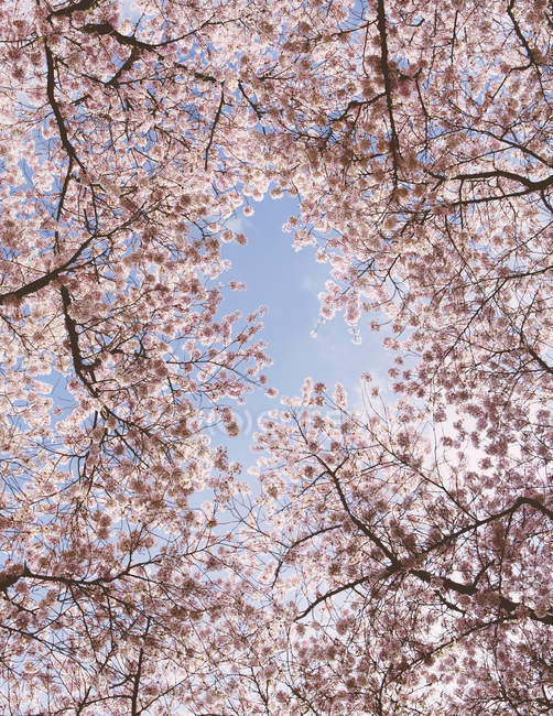 Frothy pink cherry blossoms on trees in spring against blue sky. — Stock Photo