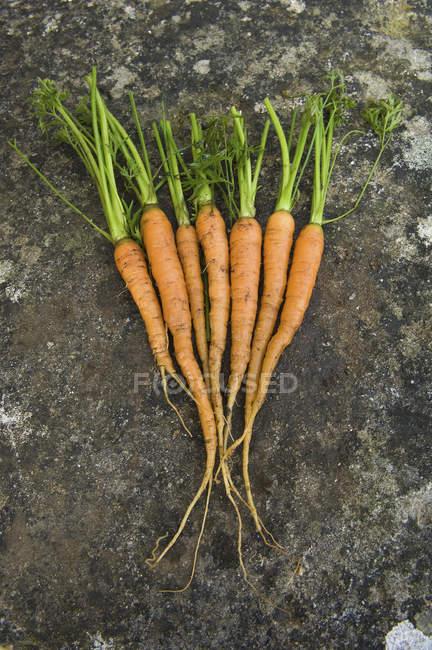 Zanahorias frescas limpias con los vástagos frondosos verdes - foto de stock