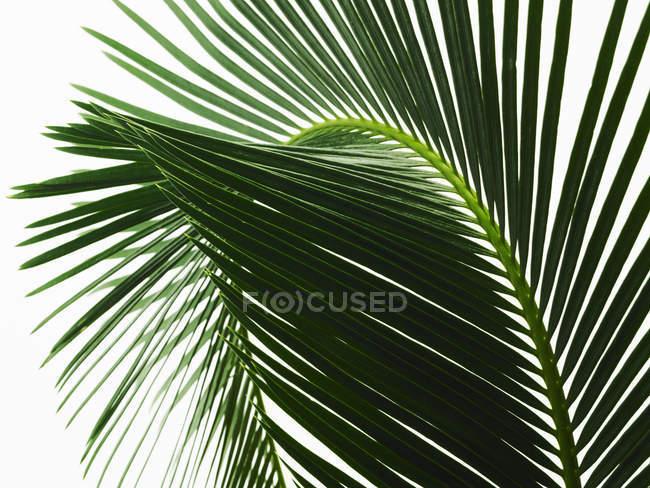 Листья зеленой пальмы с центральным ребром и парными передними лапами, крупным планом . — стоковое фото