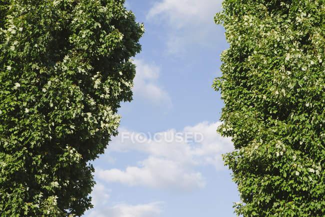 Зеленые деревья с зеленой листвы против голубого неба . — стоковое фото