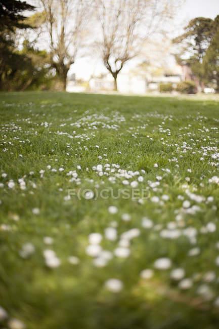Hierba verde y flores blancas que crecen en campo de primavera . - foto de stock