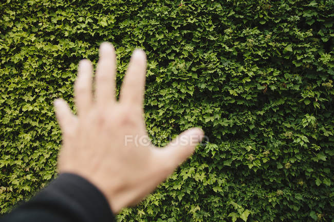 Male hand reaching towards wall of green ivy — Stock Photo