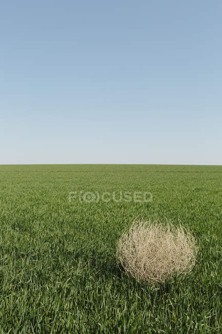 Tumbleweed blowing across green field of growing wheat crops in farmland. — Stock Photo