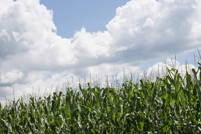 Tall maize plants growing in green corn field. — Stock Photo