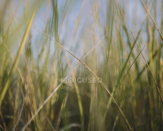 Gros plan de l'herbe des dunes balayée par le vent dans un pré naturel . — Photo de stock