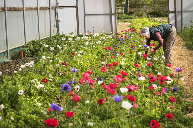 Woman bending and cutting organic flowers in polytunnel with flowering red, purple and white flowers. — Stock Photo