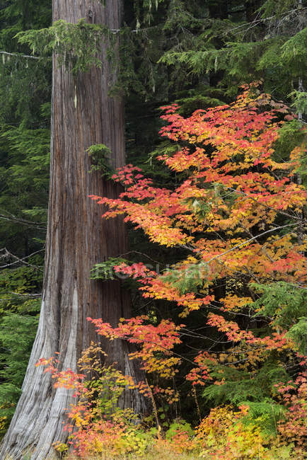 Forest with maple tree with red leaves in autumn. — Stock Photo