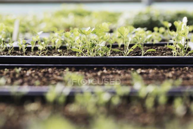 Close-up of trays of seedlings and salad leaves in polytunnel in organic vegetable garden. — Stock Photo