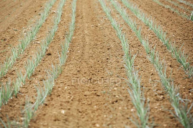 Plantes d'oignon dans le sol au champ — Photo de stock