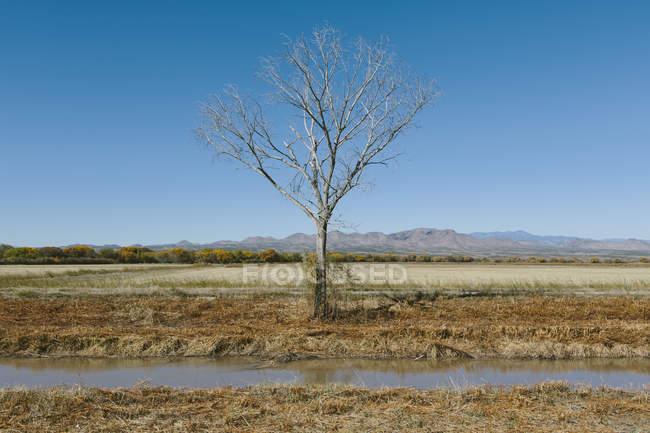 Árbol de algodoncillo desnudo en otoño con canal de agua en campo estéril . - foto de stock