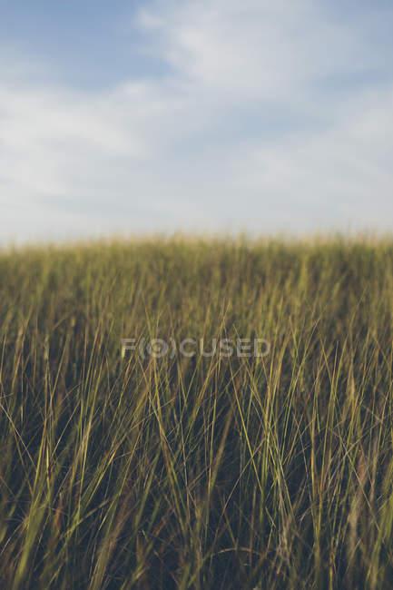 Крупный план травы дюн в естественном поле . — стоковое фото