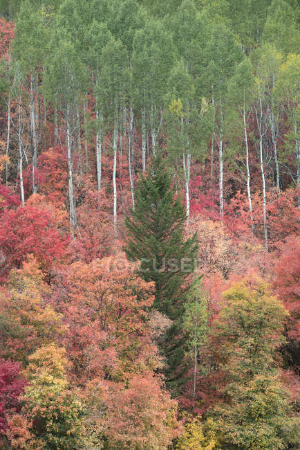 Pine tree in forest of maple and aspen trees in vivid autumn colors. — Stock Photo