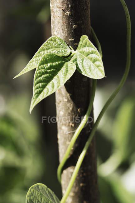 Plante de haricot grimpant et se tordant autour du poteau dans le potager . — Photo de stock