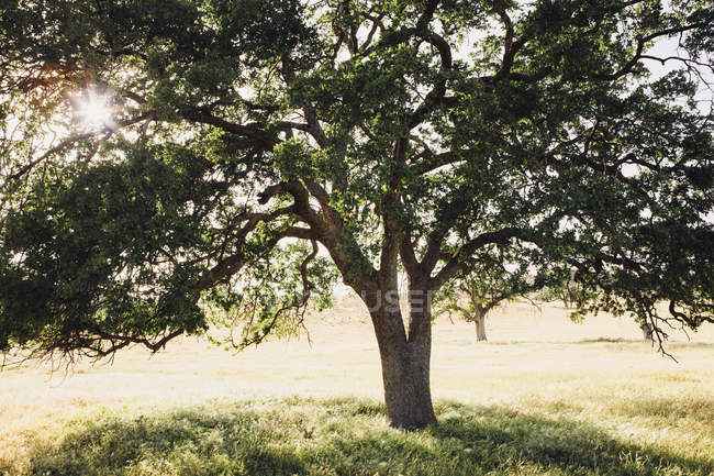California oak tree with spreading branches and green leaves in backlit. — Stock Photo