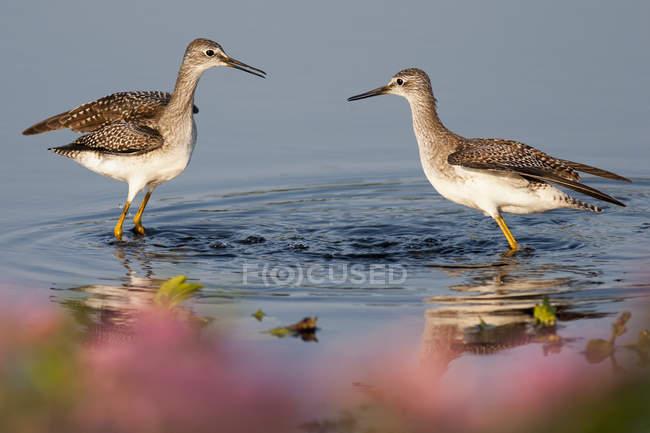 Due uccelli di Chiurli che guada in acqua. — Foto stock