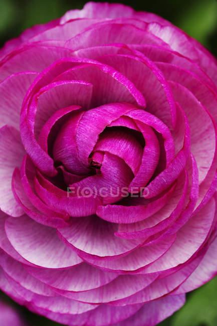 Nahaufnahme von Rosenblüten mit aufgerollten rosa Blütenblättern. — Stockfoto