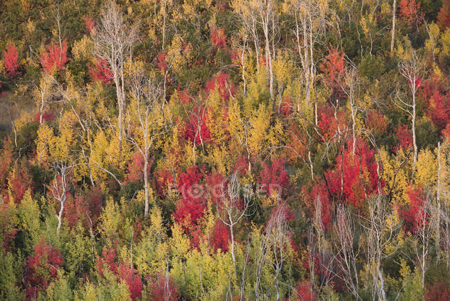 Forest of maple and aspen trees in vivid autumn colors of foliage. — Stock Photo