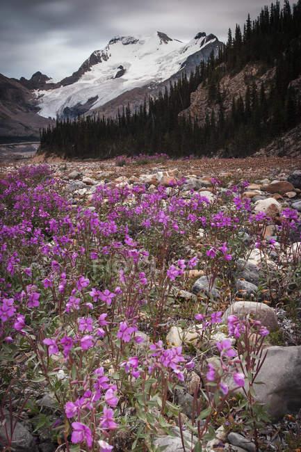 Glaciar Athabasca e rosa flores silvestres no vale nas montanhas rochosas canadenses. — Fotografia de Stock
