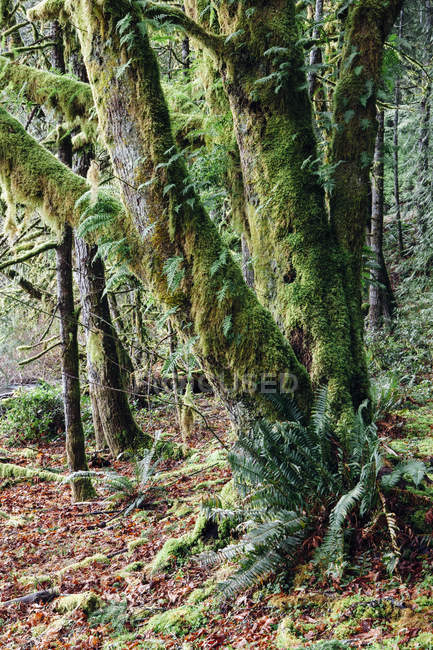 Mossy tree in rainforest along shore of Lake Crescent. — Stock Photo