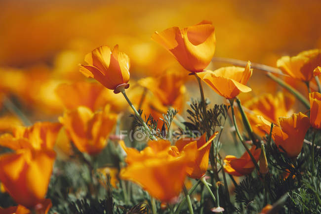 Naturalized crops of vivid orange California poppies, close-up. — Stock Photo