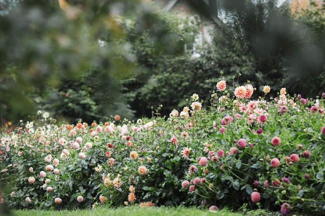 Dahlias growing in flower nursery garden. — Stock Photo