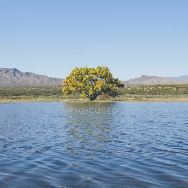 Albero del Cottonwood in autunno sulla riva del lago nel paesaggio collinare — Foto stock