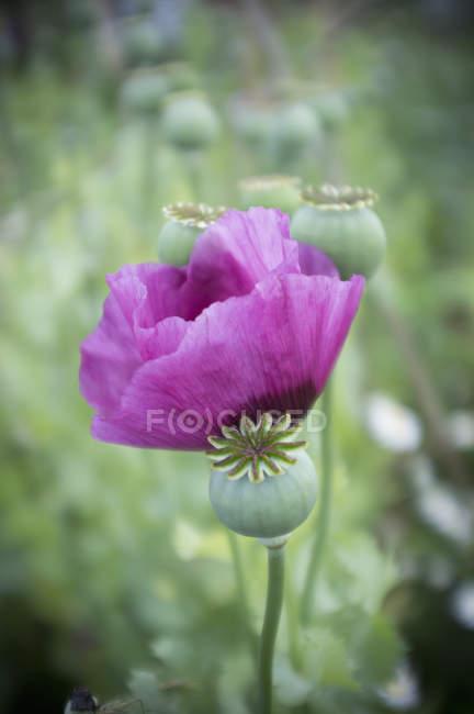 Purple flowering poppy in green meadow. — Stock Photo