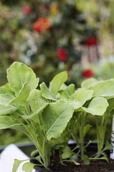 Close-up of seedling vegetable plants in tray in garden. — Stock Photo