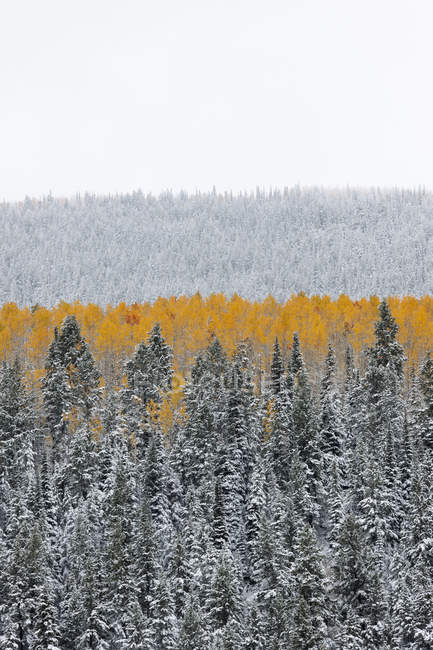 Aspen forest in autumn with layer of vivid orange foliage against pine trees. — Stock Photo