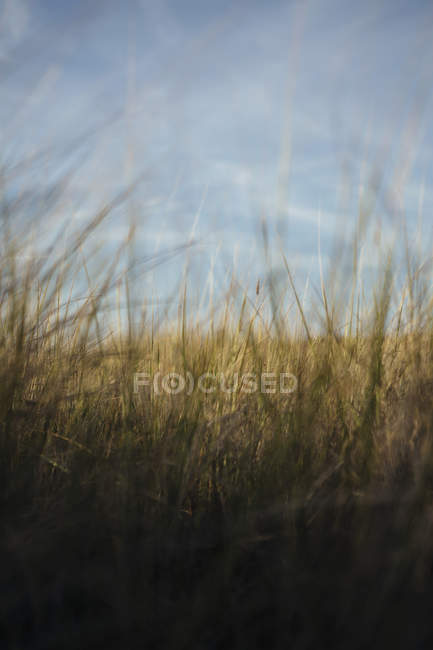 Close-up of dune grass in natural field. — Stock Photo