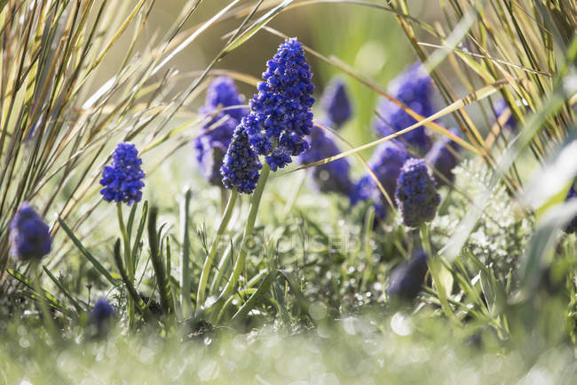 Close-up of spring flowers of grape hyacinths growing in grass. — Stock Photo