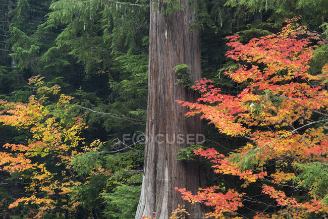 Forest with maple tree covered with red leaves in autumn. — Stock Photo