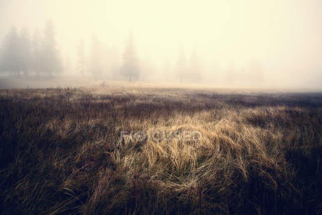Nevoeiro obscurecendo pinheiros com a luz solar caindo no remendo de grama longa . — Fotografia de Stock