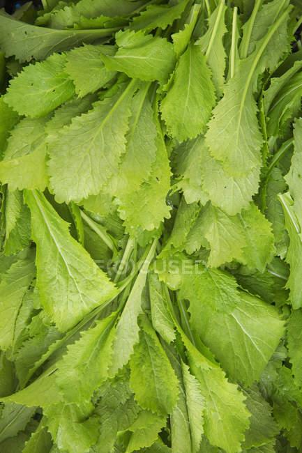 Manojo de hojas de ensalada verde recién cogidas - foto de stock
