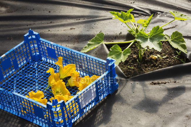 Blue crate of bright yellow courgette flowers. — Stock Photo
