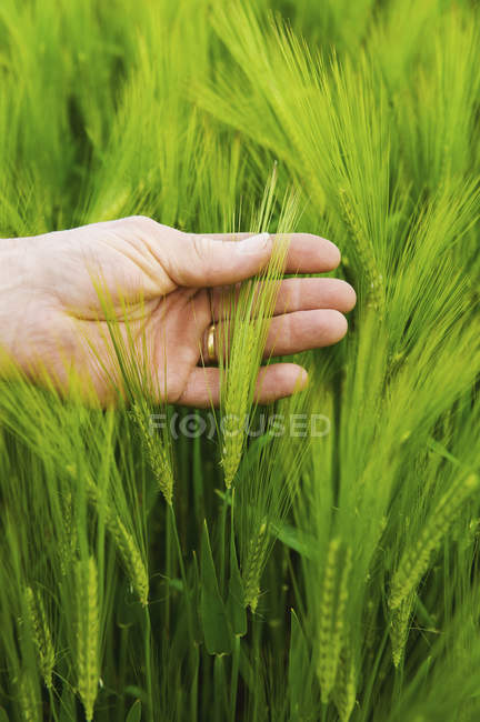 Hand of male farmer checking wheat ears in green field. — Stock Photo