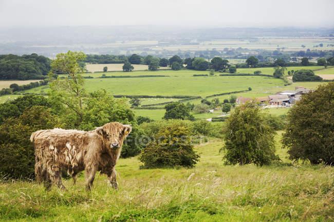 Braune Highland Kuh grasen auf Landschaft Weide. — Stockfoto